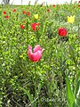 Тюльпан Шренка у балці Плоскій.jpg