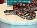 حیوانات تاکسی درمی شده - موزه تاریخ طبیعی شهر قم 01.jpg