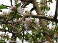 شکوفه های بهاری شهر خامنه - panoramio (3).jpg