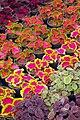 عکس گل ها- گلخانه ای در محلات.jpg