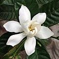 গন্ধরাজ ফুল - Cape jasmine 1.jpg