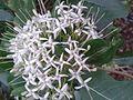 பாவட்டா 1 ( Pavetta indica ).jpg