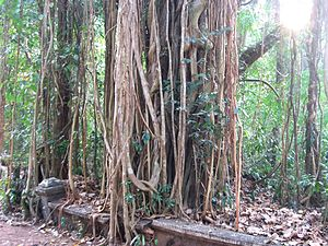 Ficus religiosa - Typical example of aerial roots