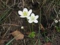 ウメバチソウ Parnassia palustris.JPG