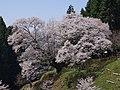 仏隆寺の「千年桜」 宇陀市榛原赤埴 2013.4.13 - panoramio.jpg