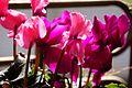 仙客來 Cyclamen persicum - panoramio.jpg