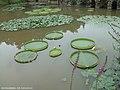 仙湖植物园-王莲 - panoramio.jpg