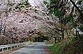 吉野山 辰の尾地区にて 2014.4.12 - panoramio.jpg