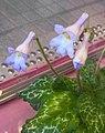 報春苣苔屬 Primulina sinensis 'Hisako' -香港公園 Hong Kong Park- (37280440221).jpg