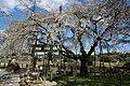 大藪のしだれざくら 「空の青さくらしだれて広がれり」 - panoramio.jpg