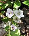 婆婆納屬 Veronica lyallii (Parahebe lyallii) -維也納大學植物園 Vienna University Botanical Garden- (27900571163).jpg
