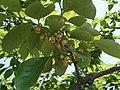 柿の花 - panoramio.jpg
