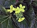 白菜 Brassica chinensis -香港北區花鳥蟲魚展 North District Flower Show, Hong Kong- (9213323459).jpg