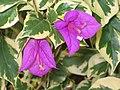 花葉葉子花 Bougainvillea spectabilis -香港動植物公園 Hong Kong Botanical Garden- (9200950314).jpg