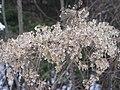 虎杖 Polygonum cuspidatum -九寨溝珍珠灘 Sichuan, China- (9240259758).jpg