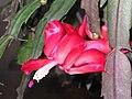 蟹爪蘭 Schlumbergera truncata (Zygocactus truncatus) -香港公園 Hong Kong Park- (9204846117).jpg