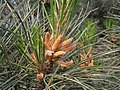 赤松 Pinus densiflora -瀋陽植物園 Shenyang Botanical Garden, China- (9216113092).jpg