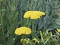 金盤鳳尾蓍(黃花蓍草) Achillea filipendulina Gold Plate -英格蘭 Wisley Gardens, England- (9216112258).jpg