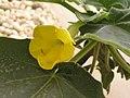 黃花艷桐草 Uncarina roeoesliana -泰國清邁花展 Royal Flora Ratchaphruek, Thailand- (9216126984).jpg