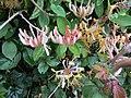 -2020-06-05 English Honeysuckle (Lonicera periclymenum), Trimingham, Norfolk.JPG