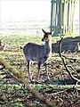 -2021-02-28 Red deer (Cervus elaphus), Gunton Park, Norfolk (1).JPG
