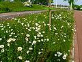004 Rotterdam verge flowers.JPG