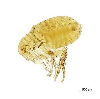 Oriental rat flea - Image: 010177280 2016 12 13 Scene 1 Scan Region 0