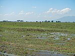 03306jfBirds Sanctuary Ducks Wetland Marshes Rice Fields Candaba Pampangafvf 03.JPG
