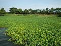 05221jfAngat River Pulilan Plants Boats Bulacanfvf 28.JPG