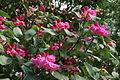 0 Rhododendron - Celles (Hainaut) 2.JPG