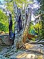 1. Сімейне дерево, (парк «Софіївка»), Умань.JPG
