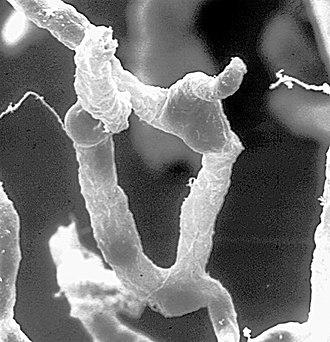 Blood–brain barrier - Part of a network of capillaries supplying brain cells