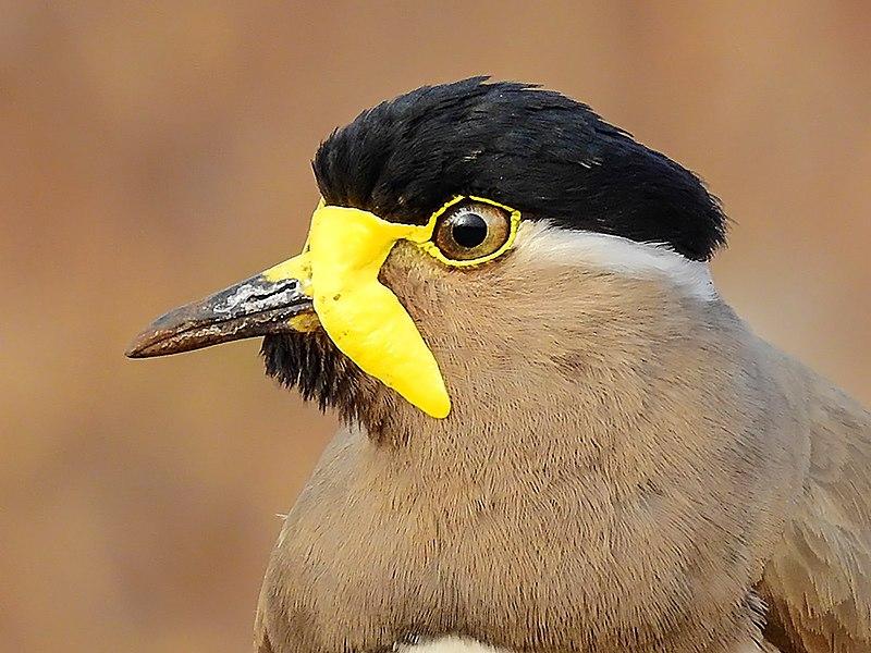 File:10. Close-up of Yellow-wattled lapwing (Vanellus malabaricus) photograph by Shantanu Kuveskar.jpg