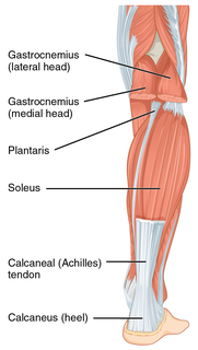 Achilles tendon type of tendon in the lower leg
