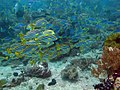 1230RajaAmpatS - 30 sweetlips and blue snappers (5555636649).jpg