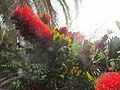 13-04-2017 Bottle brush shrub (Callistemon citrinus), Albufeira (2).JPG