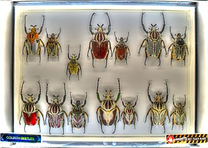 Goliathus - collection of Goliath Beetles