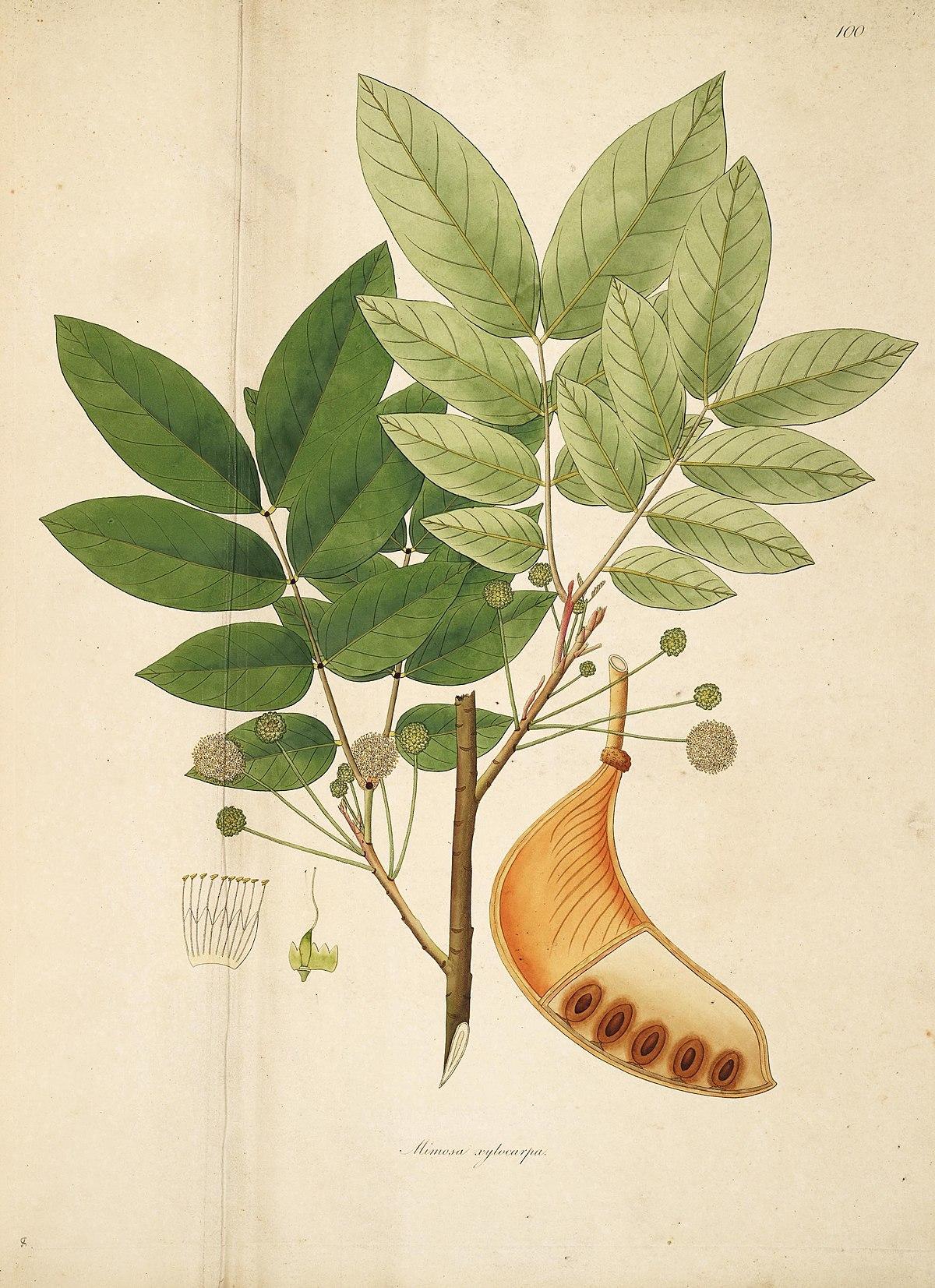 Xylia Xylocarpa: Wikipédia