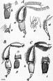 1911 Britannica - Bee - Legs.png