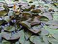 1 Nymphaea sp. - Kew 2.jpg