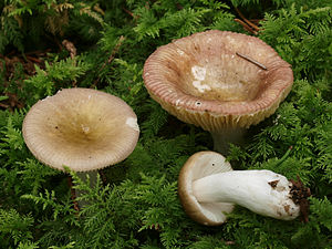 Russula nauseosa is the type species of the subsection Laricinae.