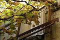 2011.09.16.121353 Vitis vinifera restaurant Rhodt.jpg