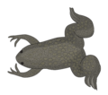 201108 Xenopus laevis.png