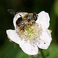 2012-07-25 16-54-32-Syrphidae.jpg
