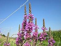 20120726Lythrum salicaria2.jpg