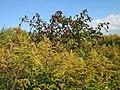 20120922Phytolacca americana - Solidago canadensis1.jpg