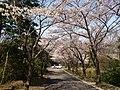 2012 Sakura in Ganshoji 02.jpg