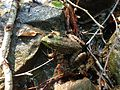 2013-08-20 16 59 42 Lithobates clamitans near the spring at around 1120 feet while descending the Mount Minsi Fire Road.jpg