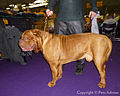 2013 Westminster Kennel Club Dog Show (8467942771).jpg
