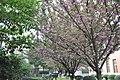 2014-04-06 樱花盛开 - panoramio (12).jpg